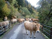 Un rebaño de vacas subiendo por la pista asfaltada hacia el Plan dera Artiga.