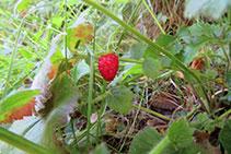Las fresas silvestres, un pequeño tesoro que podemos encontrar en bosques o zonas sombrías.