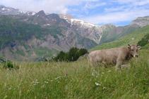 Una vaca pasturando en el valle de Otal.