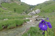 Lirio de los Pirineos (<i>Iris xiphioides</i>) en primer término y cascada de Otal al fondo.