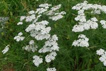 Milhojas (<i>Achillea Millefolium</i>). Según la mitología griega, el héroe Aquiles utilizaba esta planta para curarse las heridas y para el dolor de estómago.