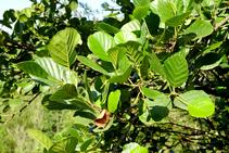 El aliso, árbol típico del bosque de ribera.