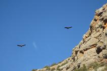 Buitres volando muy cerca de las paredes de los riscos de Pessonada.