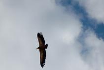 Detalle de buitre común volando (<i>Gyps fulvus</i>).
