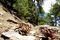 Detalle del pinar del bosque de Arnui.