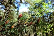 El pinar del bosque de Arnui.