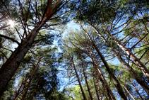 El pinar de pino rojo.