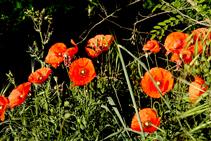 Estallido primaveral de amapolas (<i>Papaver rhoeas</i>) en la orilla norte del Onyar.