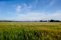 Campos de trigo de Can Bosquets.