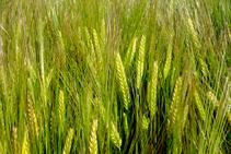 Detalle de espigas de trigo.